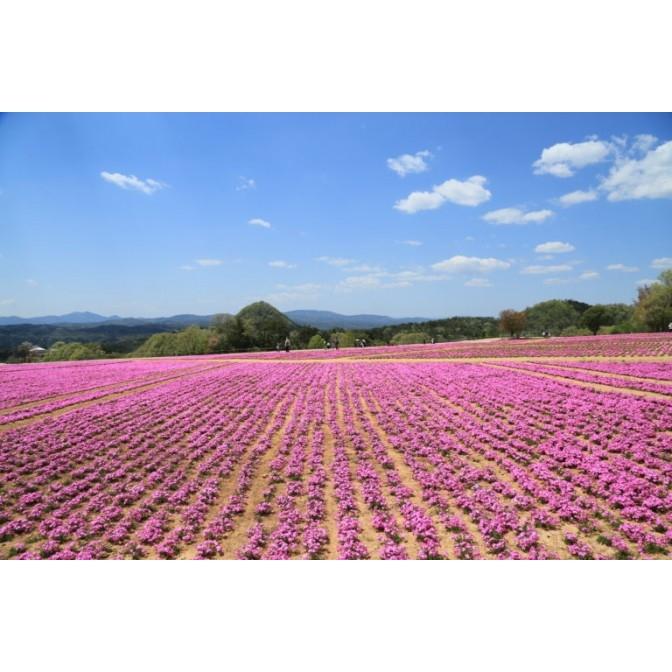 Flower Village 花夢の里「芝桜とネモフィラの丘」